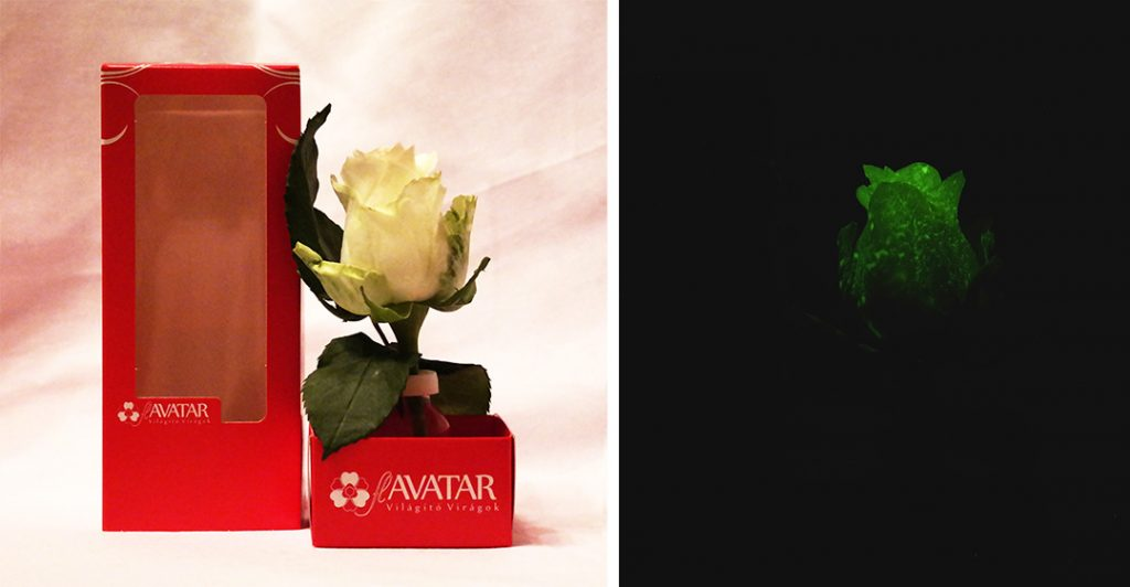 flAVATAR rose in Tesco for Valentine Day
